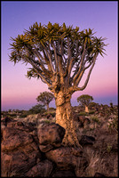 Quiver Tree Forest - Namibia - 2014
